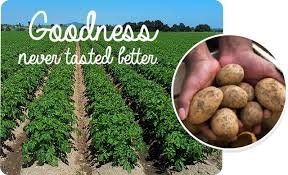 potatoes Puke grown
