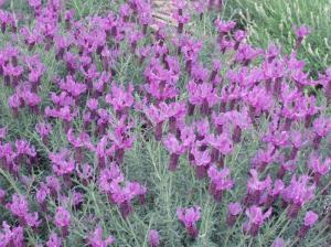 Lavender via Black Rabbit